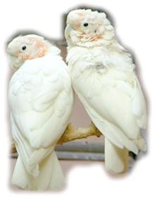 какаду Гоффіна, танімбарскій какаду (Cacatua goffini)