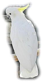 Какаду Елеонори, какаду Финча (Cacatua galerita Eleonora)