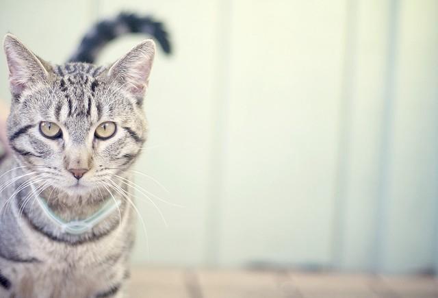 Каліфорнійська кішка, фото породи кішок фотографія картірка