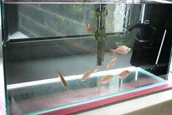 Карантинний акваріум