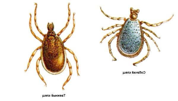Собачий і тайговий кліщ, малюнок картинка павукоподібні павуки
