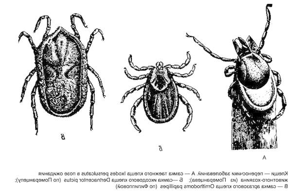 Кліщі - переносники захворювань. Самка тайгового кліща, самка іксодового кліща, самка аргозового кліща, чорний малюнок картинка павукоподібні
