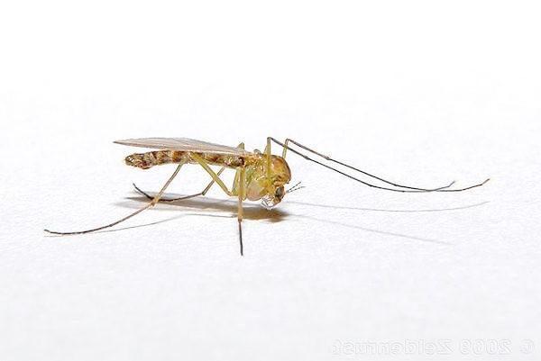 Комар звичайний (Culex pipiens), фото комахи фотографія