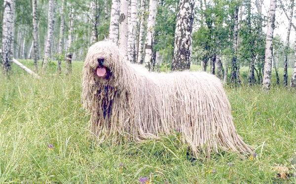 Комондор, або угорська вівчарка, фото собаки породи собак фотографія