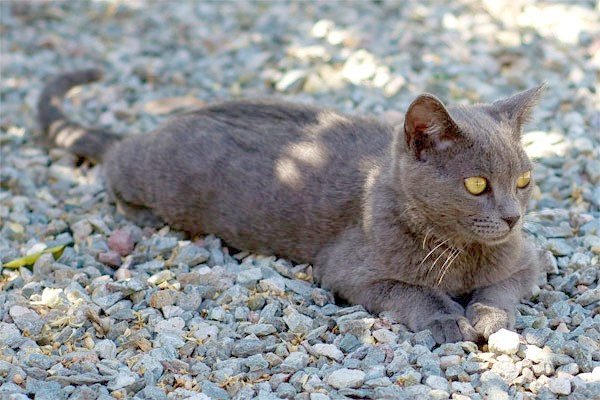 Корат кішка, фото породи кішок фотографія картинка