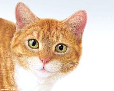 Запальні захворювання шлунково-кишкового тракту кішок, Руда кішка кіт, фото фотографія, кішки