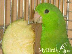 Годування горобиних і папугових птахів