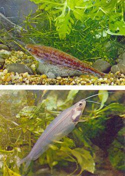 Косатка миша (mystus mica) dwarf catfish