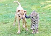 Щеня і кошеня гепарда, прикольне фото смішна картинка