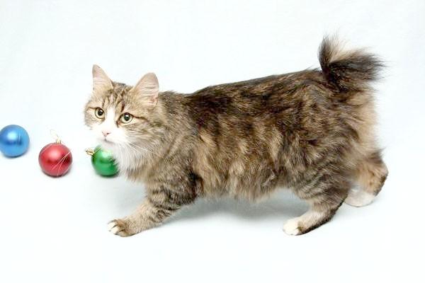 Курильський бобтейл, породи кішок фотографія фото