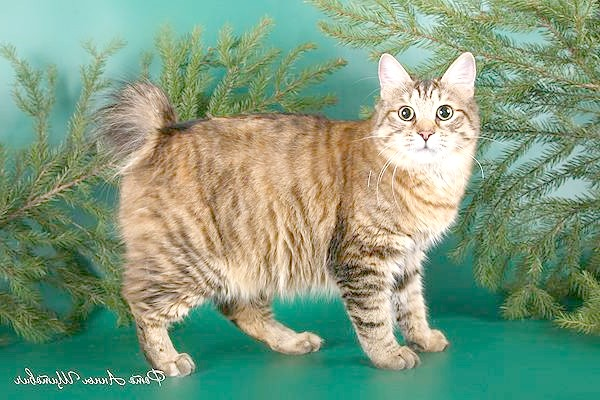 Курильський бобтейл, фото породи кішок фотографія картинка