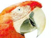 австралійський сінеязичний сцинк, картинка, малюнок