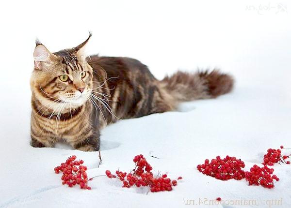 Мейн-кун на снігу, фото фотографія породи кішки