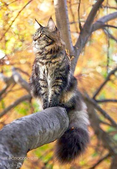 Мейн-кун на дереві, осінь, фото кішки фотографія картинка