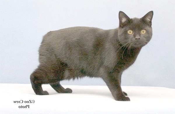 Чорний Менкс, фото породи кішок фотографія картинка