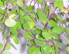 мюленбекія сплутана (Muehlenbeckia complexa), фото, фотографія з koreaplants.go.kr