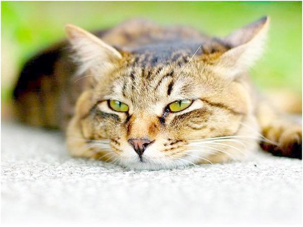 Сечокам'яна хвороба у кішок: ви можете врятувати свого улюбленця, фото фотографія кішки Канефрон