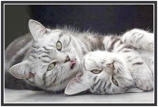 Сечокам'яна хвороба у кота: ви можете врятувати свого улюбленця, фото фотографія кішки Канефрон