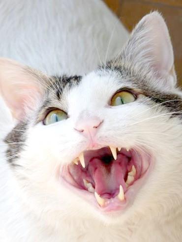 Агресивна кішка, фото кішки, фотографія поведінку кішок