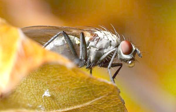 Муха, чим харчуються мухи? Як народжуються мухи? Як мухи ходять по стелі? Комахи фото фотографія