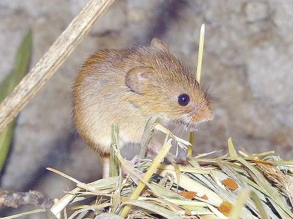 Миша-малютка (Micromys minutus), фото фотографія гризуни