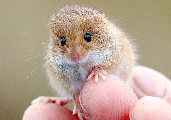 Миша-малютка (Micromys minutus), фото картинка гризуни