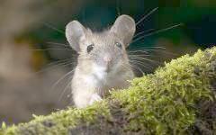 Японська миша (Apodemus speciosus), фото фотографія картинка шпалери