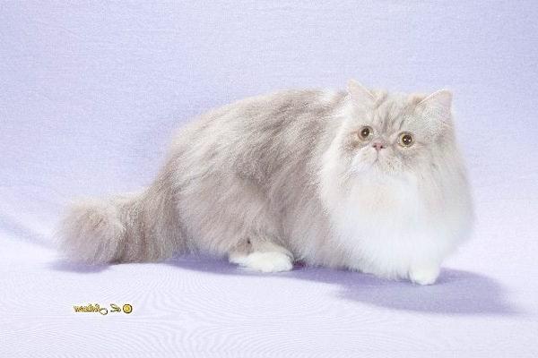 Наполеон (карликові кішки), фото породи кішок фотографія картинка