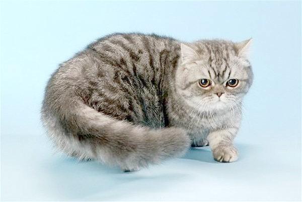 Наполеон, фото породи кішки фотографія