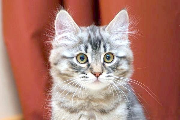 Сибірська кішка, фото поведінку психологія кішки фотографія