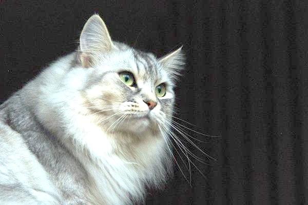 Сибірська кішка, фотографія поведінка кішки фото