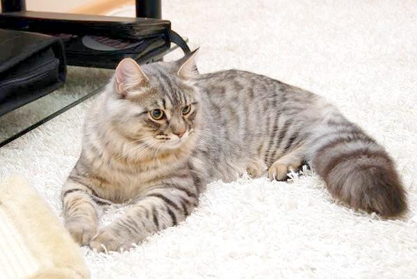 Сибірська кішка, фото психологія кішки малюнок зображення