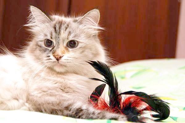 Сибірська кішка, фото поведінку психологія кішки зображення