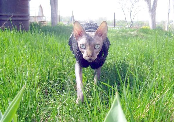 Гола кішка сфінкс, фото агресія кішки фотографія