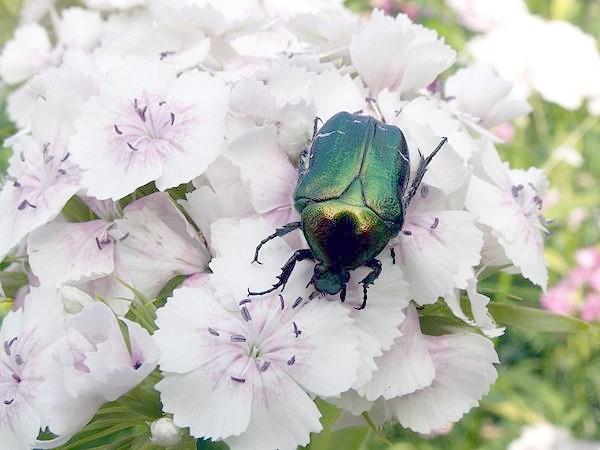 Золотиста бронзовка (Cetonia aurata, Scarabaeus auratus), фото жуки, фотографія комахи