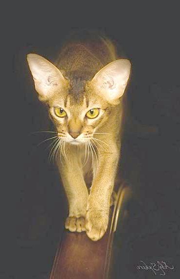 Абиссинская кішка, фото кішки фотографія