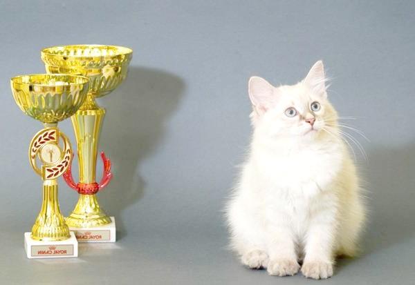 Невська маскарадна кішка, фото породи кішки фотографія картинка