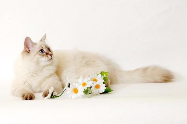 Сибірська (невська маскарадна) кішка, фото породи кішок фотографія