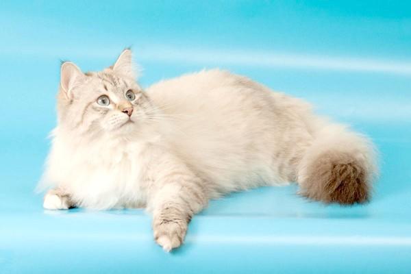 Невський маскарадний кіт, фото породи кішок фотографія картинка
