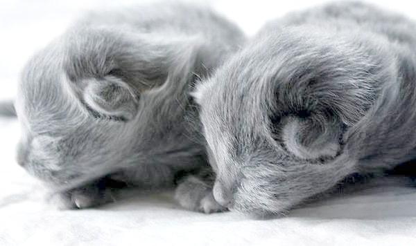 Кошенята нибелунга, фото породи кішок фотографія картинка
