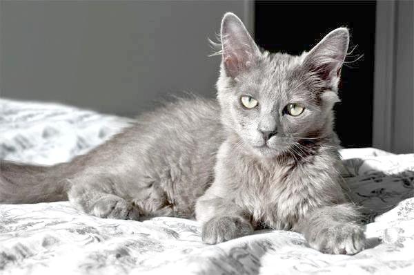 Нибелунг, фото породи довгошерстих кішок фотографія