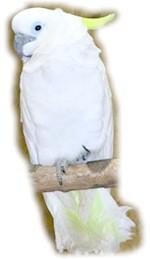 Новогвінейський великий желтохохлий какаду, тритон (Cacatua galerita triton)