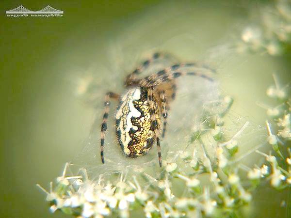 Павук, фото павукоподібні фотографія