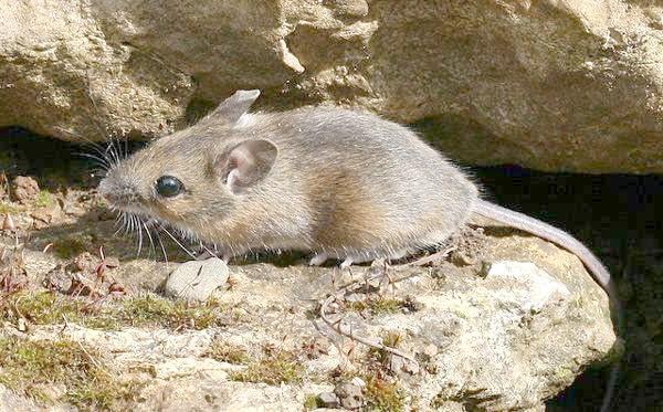 Звичайна лісова миша (Apodemus sylvaticus), фото фотографія гризуни