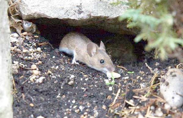 Звичайна лісова миша (Apodemus sylvaticus), фото картинка гризуни