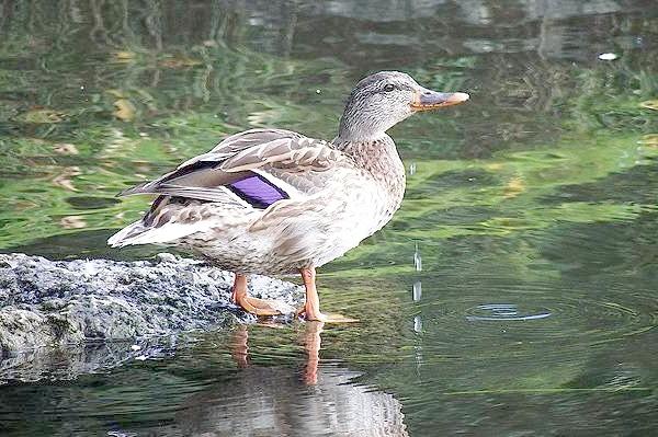 Качка біля води, фото качині птиці фотографія