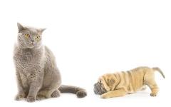 Щеня щар-пея заграє з британським котом, прикольне фото смішна картинка
