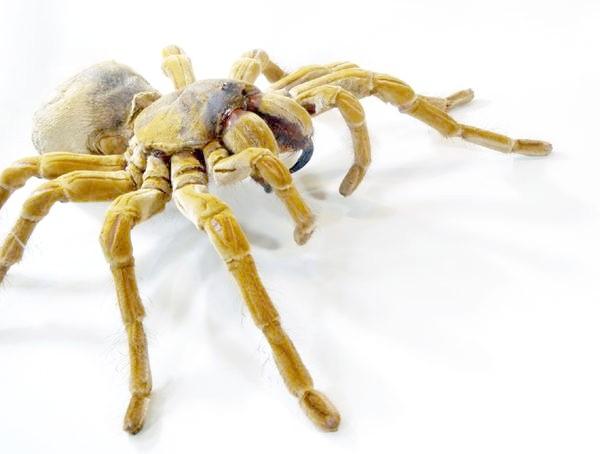 Жовтий павук, фото членистоногі тварини фотографія