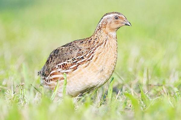 Перепілка (Coturnix coturnix), фото курячі птиці фотографія