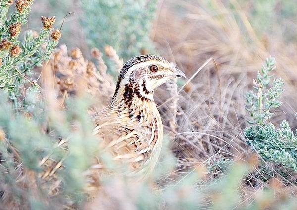 Перепілка (Coturnix coturnix), фото фазанові птиці фотографія